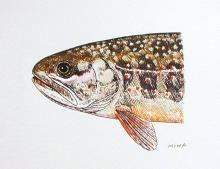 Oshorokoma - Salvelinus malma malmax, also known as Dolly Varden