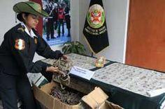 La policía de Perú confisca miles de caballitos de mar disecados - Peru police seize thousands of dried seahorses
