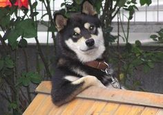 27 Reasons Shibas Are The Best Dogs Ever