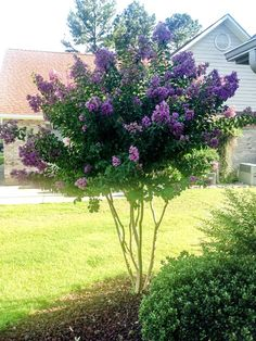 Lagerstroemia Lilas Des Indes