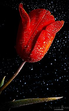 Red tulip with drops by Boui34