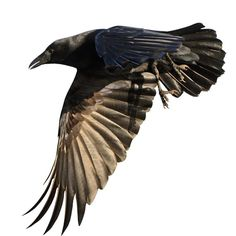 Full Color Crow Flying Left by WilsonGraphics on Etsy, $12.00