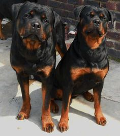 Rottweillers dogs together, beautiful natured dogs, always get a bad name, but I believe it's always down to the owner not the dogs themselfs..<3