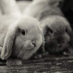 AHH! I love bunnies so much! They are the cutest furry hopping things ever!