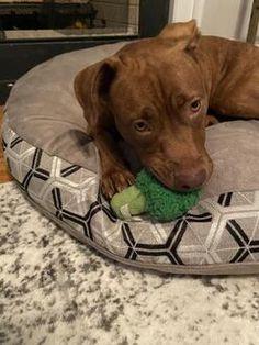 Maya (adoption Appt. Pending) American Pit Bull Terrier For Adoption In Greenville South Carolina