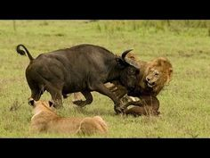 Lion vs Buffalo,Any Bufallo Attacks One Lion!