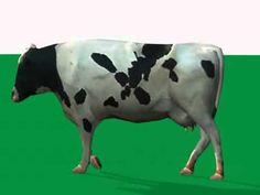 cow walk cycle