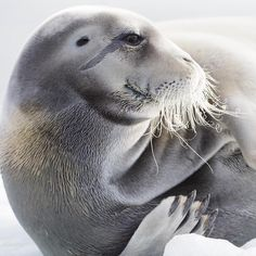 """""""Photo by @nickcobbing from an expedition on Svalbard this summer. This male bearded seal was relaxing on a piece of glacial ice in a fjord. As with all…"""""""