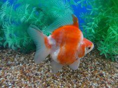 Ryukin Goldfish, Types Of Gold, Fish Print, Aquariums, Ocean Life, Aquarium Fish, Fancy, Animals, Tanked Aquariums
