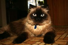 himalayan cats kitten breeds animal pets colourpoint persian brian stirling webb