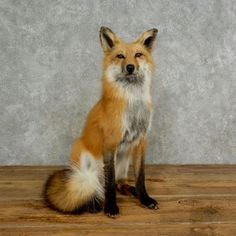 This gorgeous red fox taxidermy mount is for sale and ready for your diorama @thetaxidermystore.com