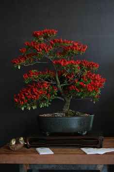 https://flic.kr/p/4MAKGx | red flowered bonsai | taken inside of the conservatory. this is perhaps my favorite of all of the bonsai's that were display. very beautiful.