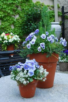 must be coming because I'm dreaming of pansies. Clay pots with blue pansies, white alyssum, dill, thyme and chives. Garden Web, Garden Pots, Balcony Garden, Garden Ideas, Spring Flowers, Blue Flowers, Exotic Flowers, Yellow Roses, Pink Roses