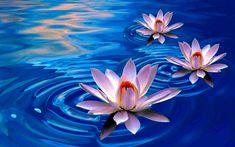 Purple Lotus Flower Wallpapers Hd