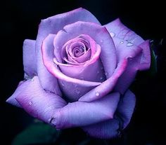 purple rose with dew love the pink edge
