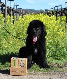 Tracking the growth of our Newfoundland pup with age blocks - Peju Province Winery in Napa, California.
