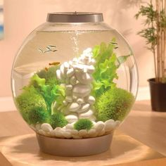 The biOrb CLASSIC 60 Aquarium is ideal for keeping larger and more advanced species of fish in a saltwater set up. Enjoy an impressive collection of fish in your with easy maintenance. Aquarium Biorb, Home Aquarium, Aquarium Design, Saltwater Aquarium, Aquarium Fish Tank, Fish Aquariums, Saltwater Tank, Aquariums For Sale, Amazing Aquariums