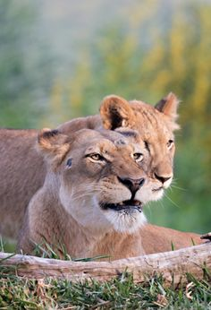 Lionesses are smaller, lighter, more agile AND faster than males. You go girls! | photo: Angie Bell