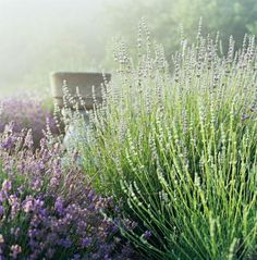 This pretty plant known for its soothing scent stars at farms throughout the Midwest. Learn how to grow lavender and where to find lavender products.