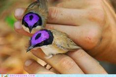 The Purple-crowned Fairywren is my new favorite bird. Look how fancy!