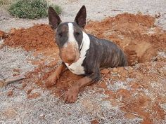 Uplifting So You Want A American Pit Bull Terrier Ideas. Fabulous So You Want A American Pit Bull Terrier Ideas. Chien Bull Terrier, Bull Terrier Funny, Pitbull Terrier, I Love Dogs, Cute Dogs, Animals And Pets, Cute Animals, Miniature Bull Terrier, English Bull Terriers
