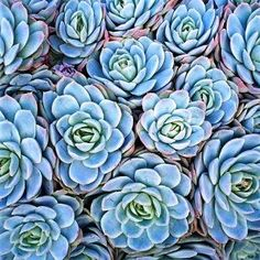 names of blue succelents | Mexican Rose is one of the common names this striking plant is better ...