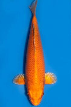 Carpe Koi, Japanese Koi, Koi Carp, Fish, Photos, Beautiful, Pictures, Pisces
