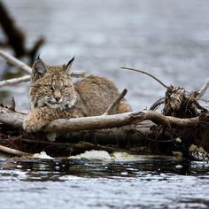 Madison River January 27 2015 14:50 Bobcats are rarely seen and even more rarely photographed. They use my property in Virginia and I have never seen them . In Yellowstone a rare phenomena has happened in winter a couple of cats have figured out they can hunt along the river in winter by laying along the river hidden waiting for foraging water birds to float by. The coyotes know this as well and they search each day smelling and looking to see if they can steal the hard earned meal from the…