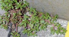 """Se vedete questa """"erbaccia"""" che cresce nel vostro giardino, non sradicatela! Ecco perché…"""