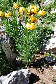 Lilium bosniacum é um lírio nativo da Bósnia-Herzegovina. É também conhecido como Lírio Dourado e Lírio Bósnio. O Lírio Dourado é um símbolo do Reino da Bósnia. O brasão de armas usado pelos membros da Câmara dos Kotromanić, soberanos da Bósnia medieval e das terras circundantes, constituídos por seis lírios dourados sobre um fundo azul com uma fita branca.