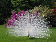 Pure White Peacock on Display!  Gorgeous!!!!!!