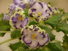 African Violet Saintpaulia ~ Emerald Lace Sport | eBay