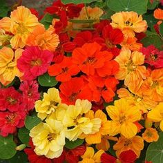 "Nasturtium Seeds (Dwarf) Whirleybird Double Mix - annual; miixed orange, red, yellow; up to 12"";	full sun to part shade; $3 up to 100 sq ft."