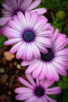 African Daisies. would make a nice tattoo. I could put my kids names on the petals, it's such a pretty flower.