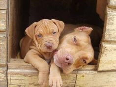 Mother pitbull and puppy pitbull sitting together, click or tap the photo to see more awwwww Rednose Pitbull, Red Pitbull, Red Nose Pitbull Puppies, Cute Puppies, Cute Dogs, Dogs And Puppies, Doggies, Animals And Pets, Baby Animals