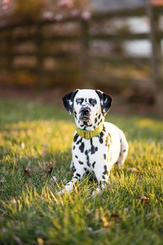 © Brooke Tyson Photography | on location dog photography, #dalmatian, pet photographer