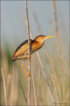 Least Bittern - U.S. and Canada - BirdWatching Daily - BirdWatching Community