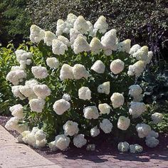 Extremely Cold-Hardy with Giant Blooms! - The Limelight Hydrangea is a favorite among beginner and experienced gardeners alike. You get tons of huge blooms on a low-maintenance shrub that grows almost anywhere in the country. Hydrangea Tree, Hydrangea Shrub, Limelight Hydrangea, Hydrangeas, Growing Hydrangea, Hydrangea Paniculata, Low Maintenance Landscaping, Low Maintenance Garden, Garden Shrubs