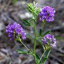 Alfalfa: es digestiva, alcalinizante, nutritiva y antiinflamatoria ecoagricultor.com