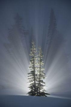 Cedars Delight
