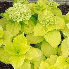Hydrangea Lemon Daddy - 'Lemon Daddy' has shiny lemon-yellow foliage and large pink (or blue) mophead flowers. This strong-stemmed, vigorous grower performs well in hot, humid conditions, and will brighten up the shade garden even when not in bloom.