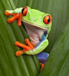 Amphibians are cold-blooded vertebrates (vertebrates have backbones) that don't have scales. Green Tree Frog, Red Eyed Tree Frog, Tree Frog Terrarium, Tree Frog Tattoos, Frosch Illustration, Frog Habitat, Whites Tree Frog, Baby Animals, Cute Animals