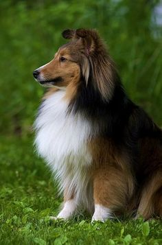 Sheltie. I miss you Cooper and Dust Dog!