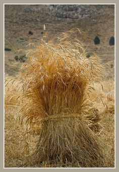 bundle of hay . Cottage Chic, Feasts Of The Lord, Fields Of Gold, Wheat Fields, Field Of Dreams, Autumn Scenery, Farms Living, Old Barns, Country Life