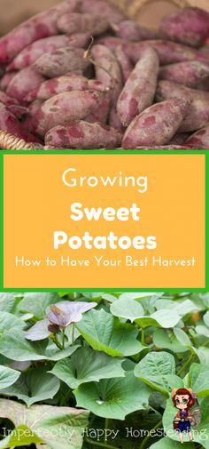 Urban Garden Grow Sweet Potatoes How to Have Your Best Harvest Ever From Your Backyard or Homestead Garden - I love to grow sweet potatoes! And they are fairly easy to grow once you have the right information. There is nothing like the flavor of homegrown Organic Vegetables, Growing Vegetables, Fruits And Vegetables, Veggies, Herbs Garden, Gardening Vegetables, Organic Fruit, Organic Plants, Growing Sweet Potatoes
