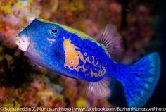 Bluetail trunkfish