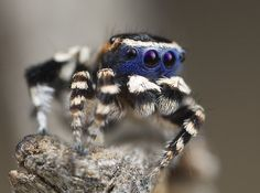 "The ""Blueface"" peacock spider... it's kinda cute"