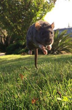 Run rattie run!!!