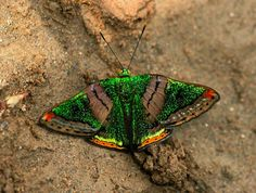Butterfly of the Amazon and Andes  Green Mantle 'Caria mantinea' (Family Riodinidae)