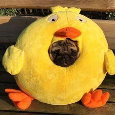 from Shop for Pug Lovers bio Via Comment below if You like this Love to tag? from Shop for Pug Lovers bio Via Comment below if You like this Love to tag? Cute Funny Animals, Funny Animal Pictures, Cute Baby Animals, Funny Dogs, Cute Dogs, Funny Memes, Cat Memes, Hilarious, Pugs In Costume